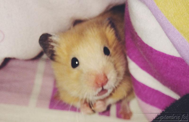 hamster-sirian