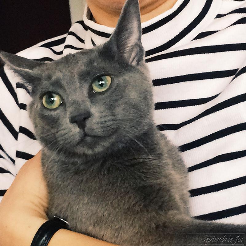 pisica-russian-blue