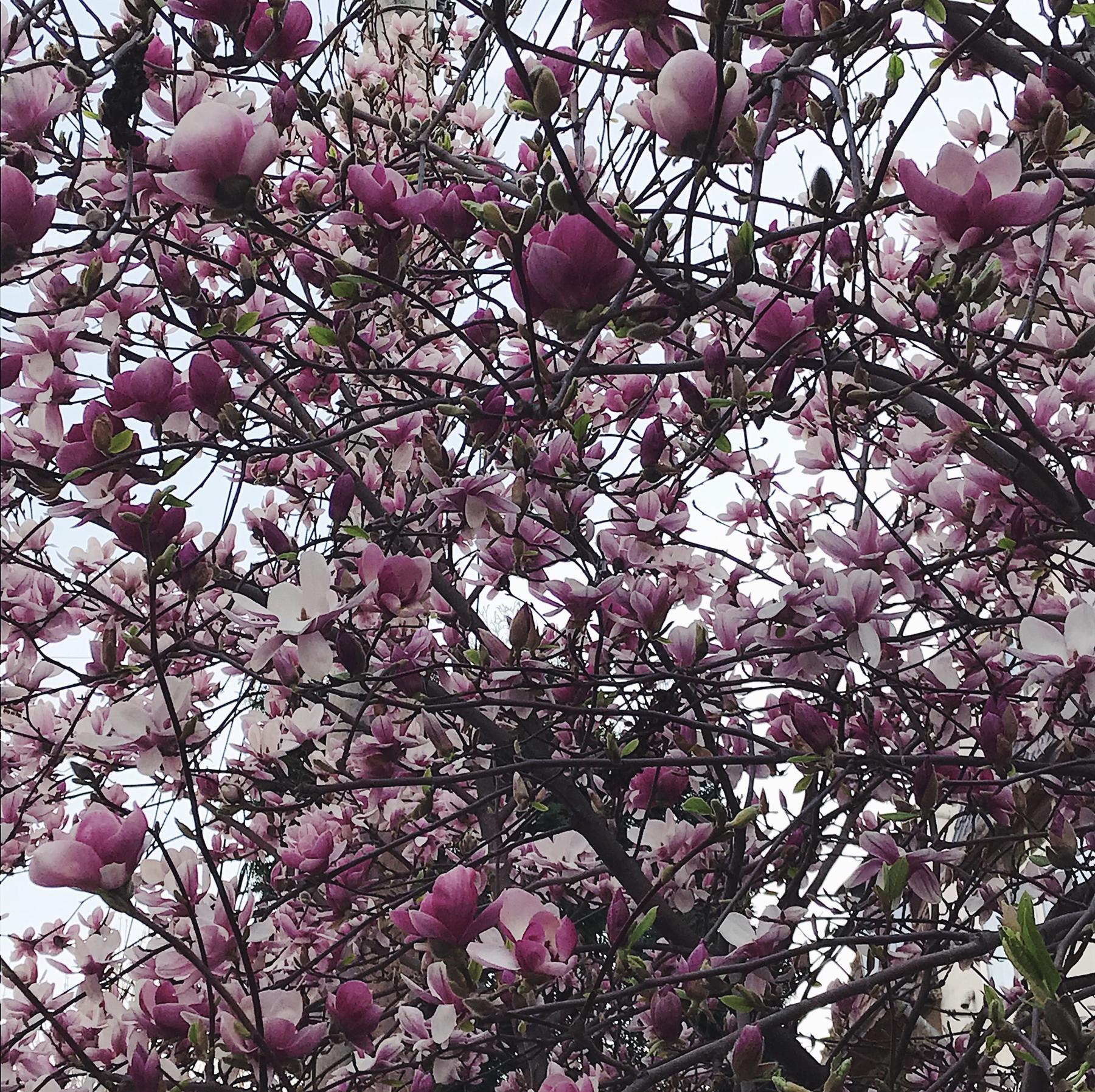 magnolie-inflorita
